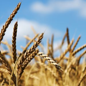 Weizen Feld